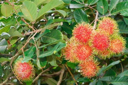 Rambutans, in the garden, Thailand