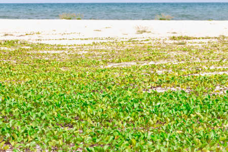 Goat's Foot Creeper or Beach Morning Glory, (Ipomoea pes-caprae) thrives on the beach