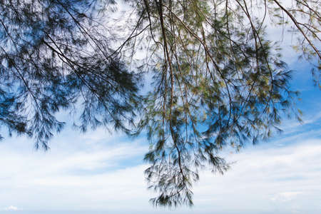 Pine tree with blue sky. Beautiful.
