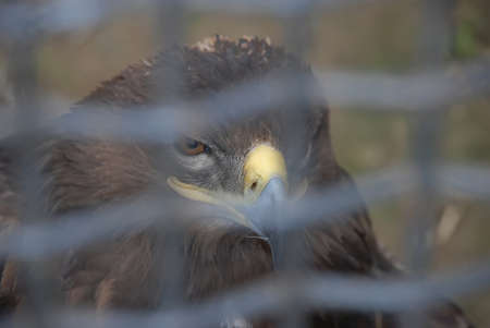 The golden eagle Aquila chrysaetos in a cage. Wild bird in captivity. The shadow of a cage on a bird. Stock Photo