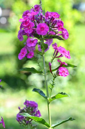 Blooming pink phlox flowers perennial phlox phlox paniculata blooming pink phlox flowers perennial phlox phlox paniculata laura growing in a sunny garden mightylinksfo