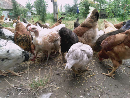Chickens and hen eating food . Chicken, chicken, ferry, eats from cockroaches Stock Photo