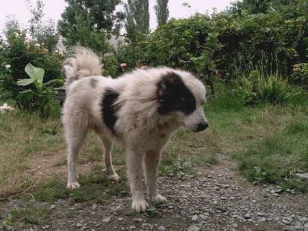 White black-haired yard dog. Gray dog