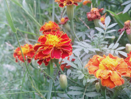 Summer garden flowers . colorful flower in the garden . Blossoming orange marigold tagetes flowers. Stock Photo