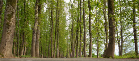 empty lonely asphalt car road between trees in forest outdoor nature environment in fresh weather time with green colors . The machine path in the forest . Azerbaijan Lankaran
