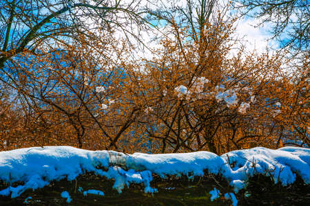 Beautiful cherry blossoms on a branch with snow on them .Azerbaijan is Bashdagaygil village of Oghuz region Stock Photo