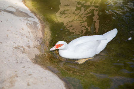 Muscovy duck, Cairina moschata, Anatidae, Anseriformes . His head is a white duck. a mute duck cairina moschata rests on a boulder in the middle of the pond with his chicks . Banco de Imagens