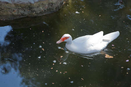 His head is a white duck. a mute duck cairina moschata rests on a boulder in the middle of the pond with his chicks .Muscovy duck, Cairina moschata, Anatidae, Anseriformes