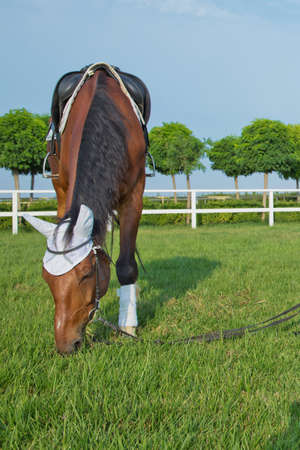 race horses in a field or paddock grazing on green grass at a stud farm that breeds for the racing industry . a saddle on the horse . a white piece on the horses head and ear. Reklamní fotografie