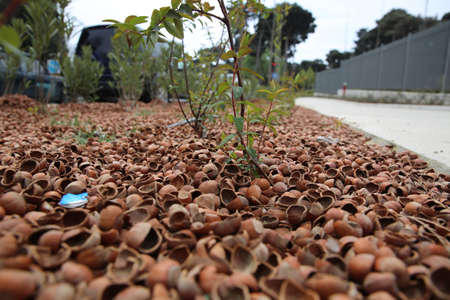 Peanuts are scattered on the ground. Peanut shells are scattered on the ground like mold. Hazelnut bark