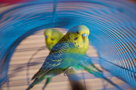 Budgie . Parakeets . Green wavy parrot sits in a cage . Rosy Faced Lovebird parrot in a cage . birds inseparable . Budgerigar on the cage. Budgie parakeet in birdcage. Parrot