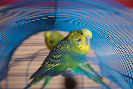 Parakeets . Green wavy parrot sits in a cage . Rosy Faced Lovebird parrot in a cage . birds inseparable . Budgerigar on the cage. Budgie parakeet in birdcage. Parrot