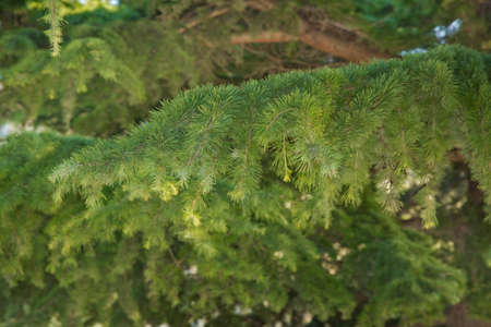 green prickly branches of a fur-tree or pin . Green pine tree leaves close up.botany a lot of green branches of pine trees blue sky background Stockfoto