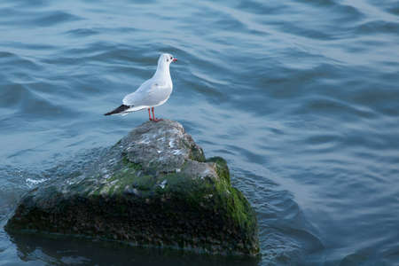 Sea gull looking out to sea . Seagull on rock near the sea in nature . The Seagull is standing on a rocky mound . Seagull on the Pacific Ocean Shore .