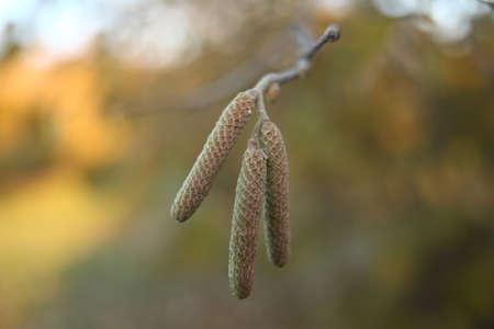 Hazel catkins in spring . the hazelnut blossoms hang from a hazelnut bush as harbingers of spring . hazelnut earrings on a tree against a blue autumn sky . Green male flowers of a common hazel . Stock Photo