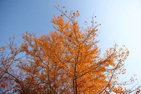 Looking up at vibrant autumn sycamore trees with colorful foliage against blue sky. A plane tree with orange leaves and cones against the blue sky in the wind. General plan . Golden leaves in Autumn