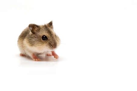 hamsters: Hamster baby