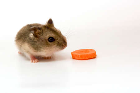 sniffing: Hamster sniffing carrot