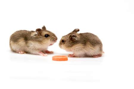 hamsters: Hamsters eating carrot