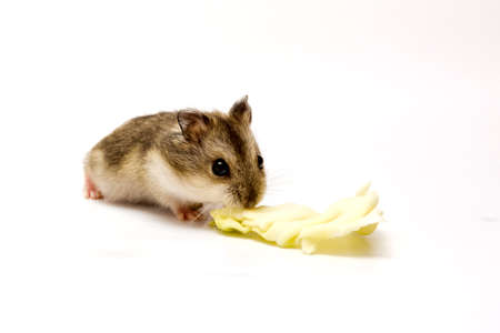 Hamster baby eating salad