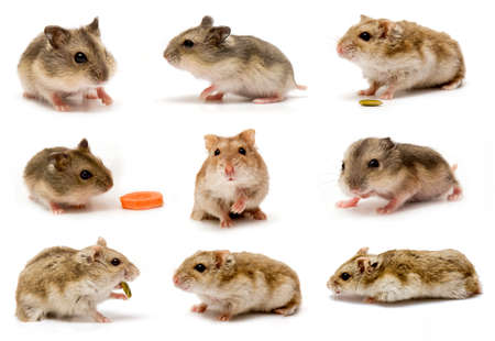 hamsters: Hamsters collage