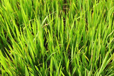 agri: Jasmine rice at Rice fields in Lat krabang, Bangkok, Thailand