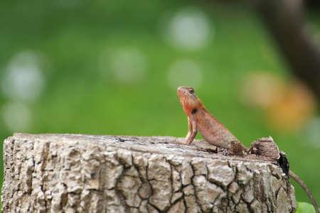 lizard in field: Un Lagarto tailandesa sobre el mu��n en Garden en Krabang Lat, Bangkok, Tailandia