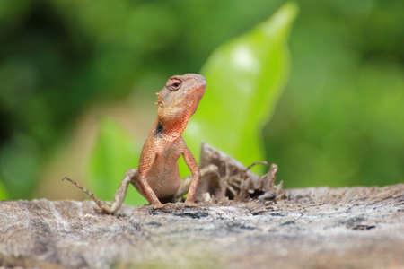 lat: A Thai Lizard on stump at Garden in Lat krabang, Bangkok, Thailand Stock Photo