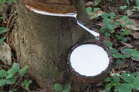 The rubber that come out from tree photo