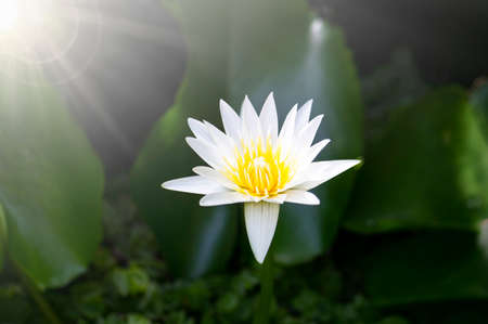 Beautiful white lotus flower with blooming in the pond and green lotus leaves around.