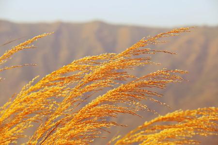 waft: waft grass Stock Photo