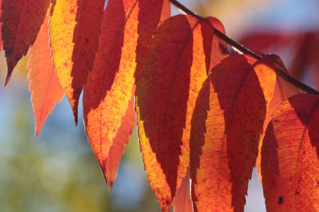 leafs: Sumac tree leafs Stock Photo