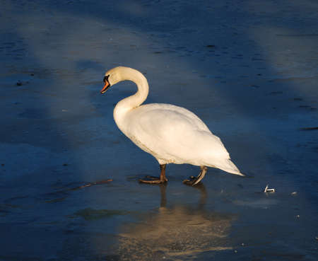 Swan on a Frozen Pond Stock Photo