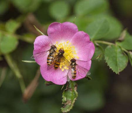 wild  rose: Sirfidi su Wild Rose