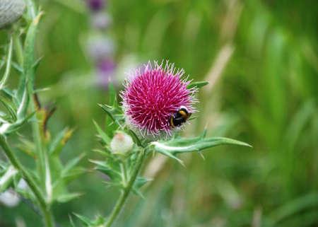 Thistle With Bumblebee