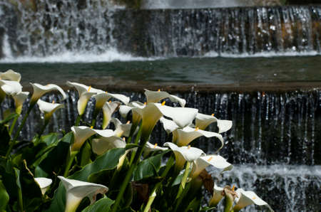 Calla lilies and water feature, Villa d Este photo