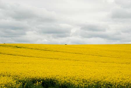 Oilseed rape field in full bloom Stock Photo