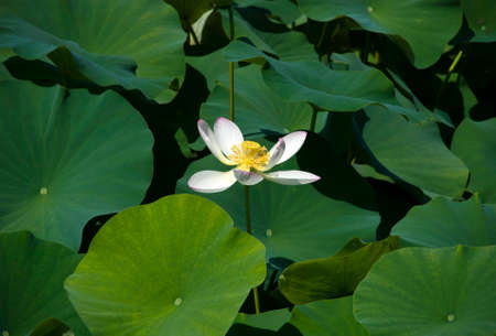 Lotus flower Banco de Imagens - 89495215