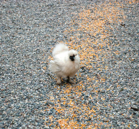 Fluffy chicken eating seed