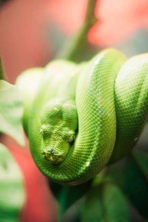 vivarium: green tree python