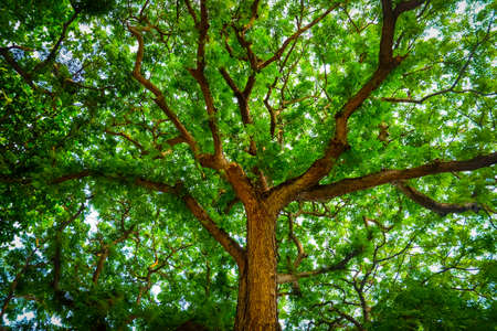 back lighting: Towering Branches Shape of lofty big tree.Worm eye view shot.Lofty branches and green leaf with back lighting. Stock Photo