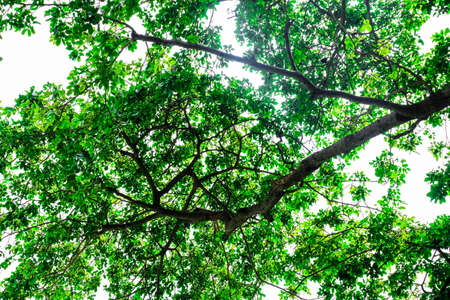 Close-up view of the old and big tree, from down to the treetop with green leaves