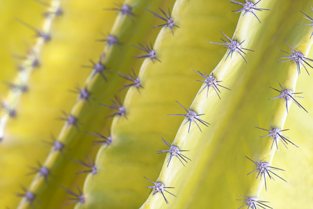 The small spiky spikes of the yellow cactus tree