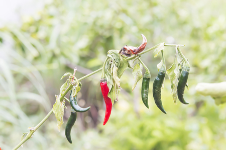 Chilli peppers in the garden withered due to lack of water 스톡 콘텐츠