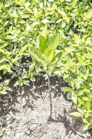 Young mangroves Stok Fotoğraf