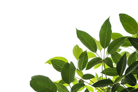 Light and dark leaves on a white background