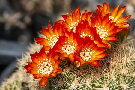 Many orange cactus flowers on the tree with spikes