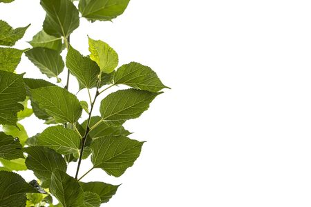 Mulberry green leaves on a sky background