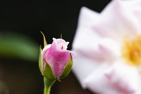 The small pink rose behind is a large flower