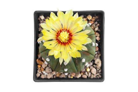The cactus has yellow flowers in a pot on a white background 免版税图像